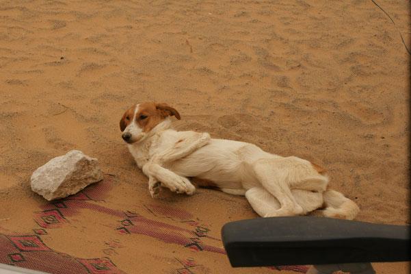 Der Campinghund ist ausserordentlich freundlich gegenüber den Campern, ganz im Gegensatz zu den steineauflesenden Marokkanern