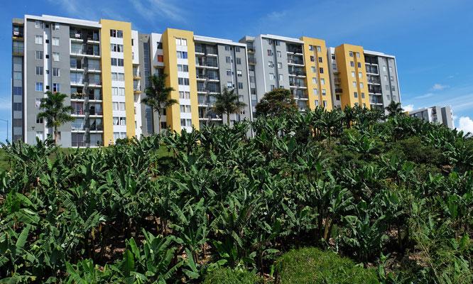Pereira. Was bei uns Apfelbäume sind hier halt Bananen