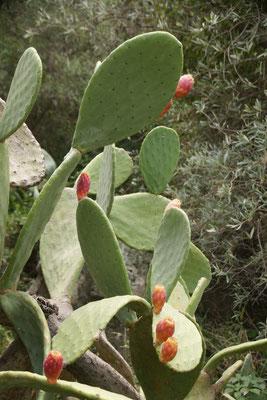 immer wieder Kaktusfeigen
