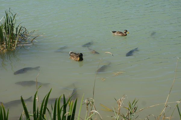 Forellen und Enten friedlich im Teich