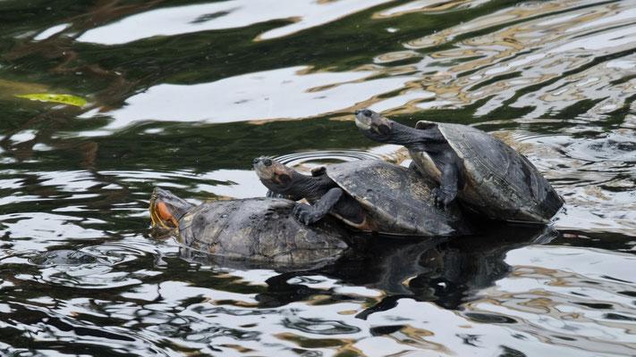 Auch die Schildkröten haben ihren Spass