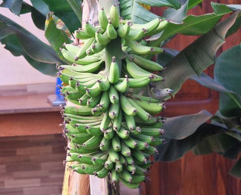 ..... aber wer kann schon frische Bananen direkt vor seinem Haus pflücken?