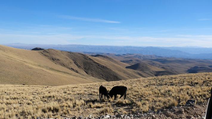 Rinder auf 4'200 m Höhe
