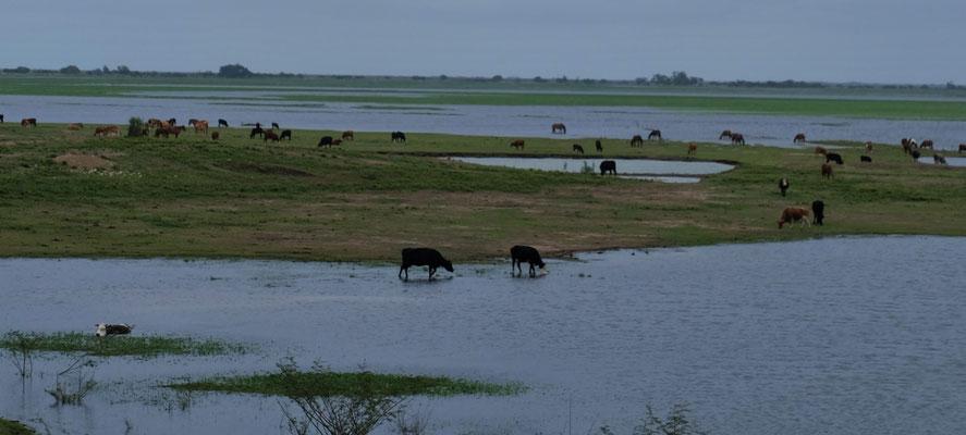 Die Kühe fühlen sich wohl.  Eine kann sogar schwimmenderweise noch fressen.