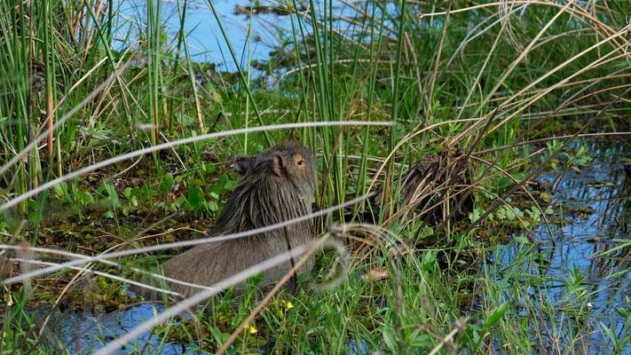 Die Wasserschweine tun sich am Gras gütlich