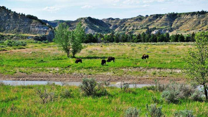 Bisons am little Missouri River