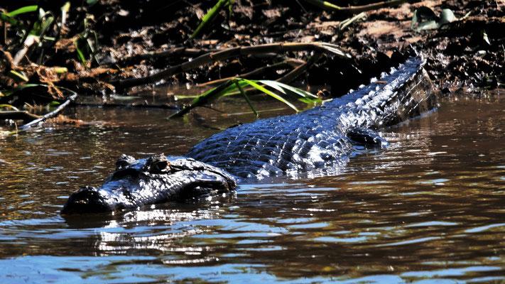 ...unzählige Krokodile...