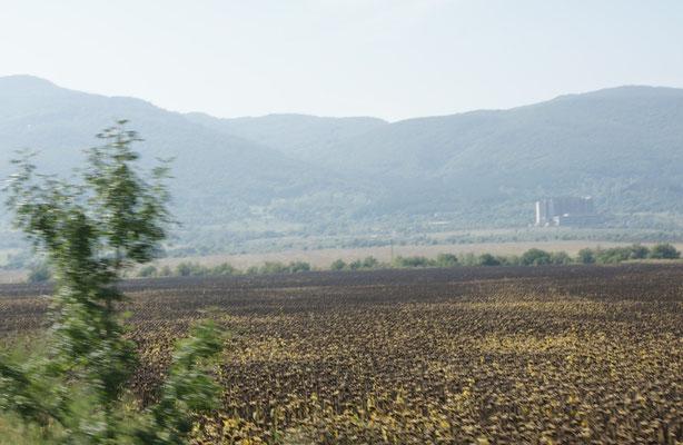 Sonnenblumenfelder kurz vor der Ernte