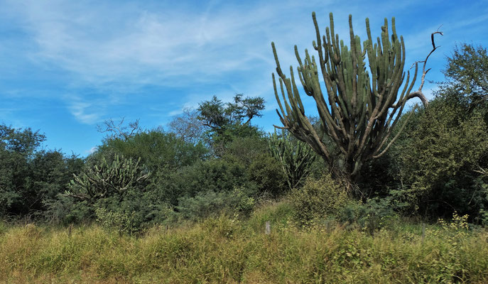 Die Kakteen erinnern uns daran, dass der Chaco eigentlich trocken sein sollte.