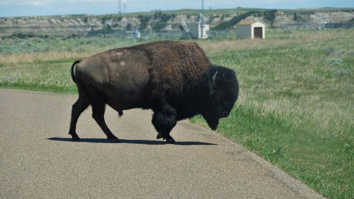 Der stattliche Bison ist echt.