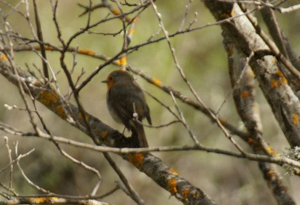 Natürlich gibt es auch kleine Pipmatze im Canon del Rio Lobos