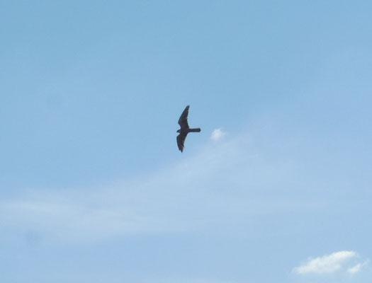 Ein Falke scheint uns auszuspähen