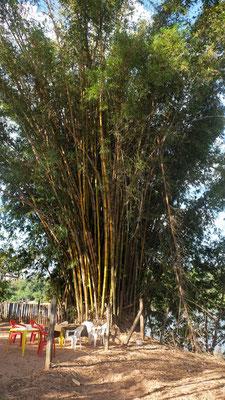 Bambus am Fluss