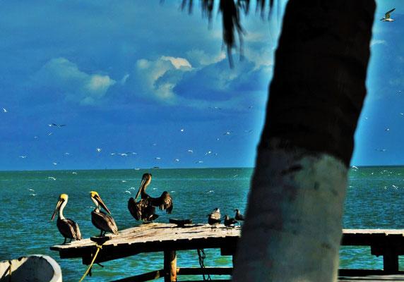 Pelikane besetzen alle möglichen Sitzmöglichkeiten.