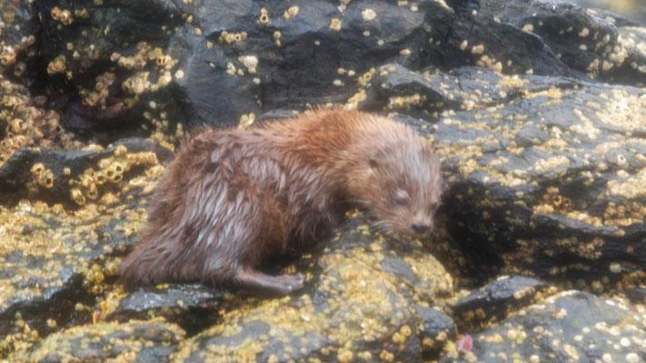 Der Seeotter stürzt sich gleich ins Wasser