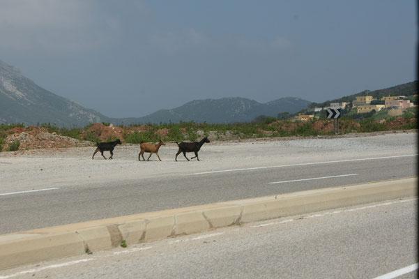 Auch hier schlendern die Ziegen über die Strasse. Achtung Geschwindigkeit