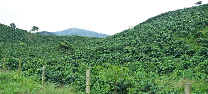 Wir sind in der grössten Kaffeeregion Kolumbiens