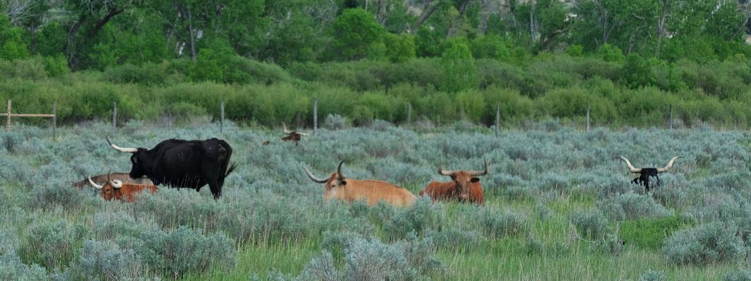 Die Langhornrinder haben sich im hohen Buschland gut versteckt.