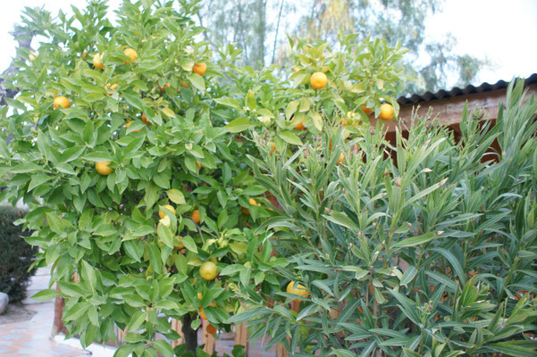 Auch diese Mandarinen auf dem Platz lässt Alois hängen.
