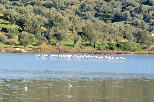 Eine ganze Gruppe Flamingos und dahinter Kormorane