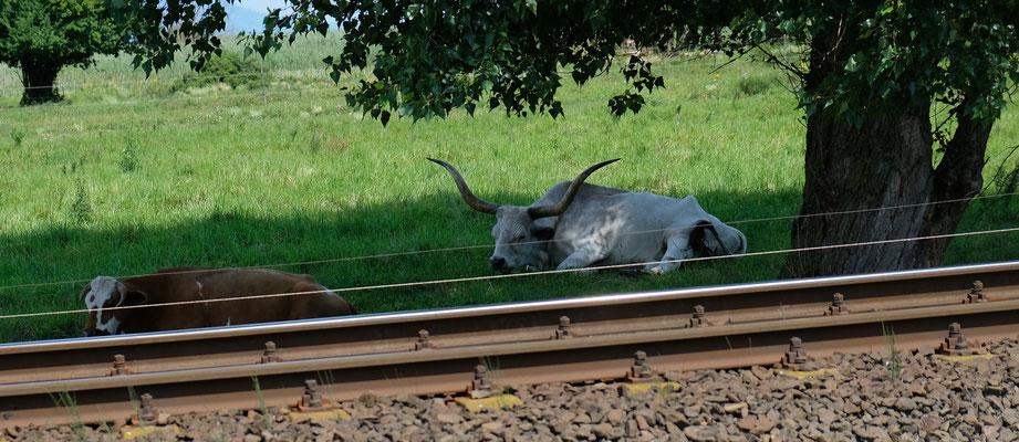 Urviecher zum Glück ennet der Gleise