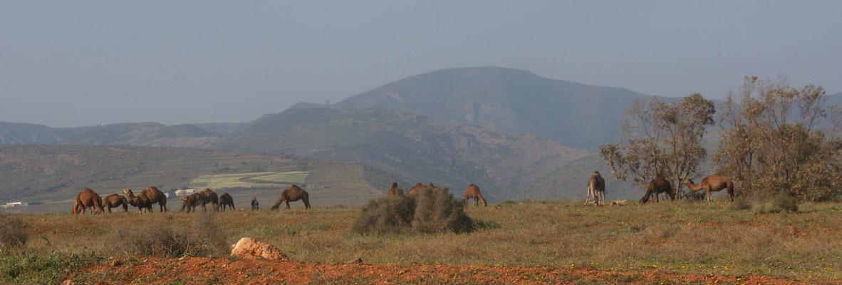 Eventuell wirklich unsere letzten Kamele im Rifgebirge in Marokko