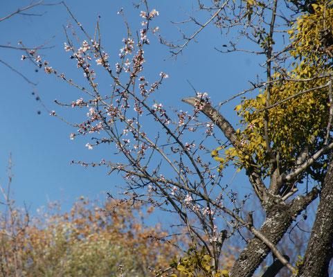 Die erstren Mandelblüten