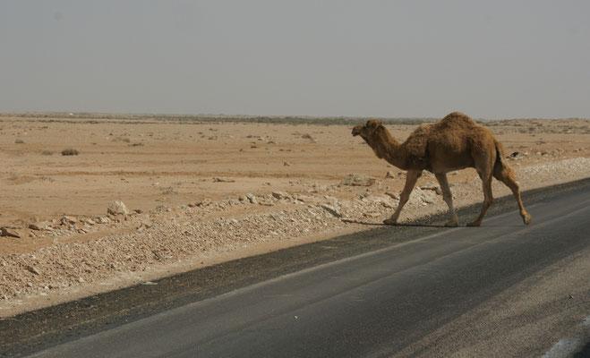 Das letzte Kamel der ersten Herde erwischt Alois noch mit seiner Kamera