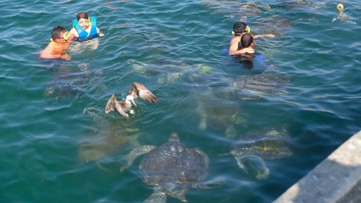 ... sehen schwimmende Leute mit Schildkröten