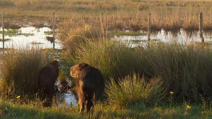 Auf dem Rückweg begegnen wir vielen Wasserschweinen auf der Piste
