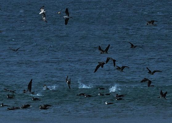 Pfeilgefade stürzen sie sich ins Meer und tauchen mit oder ohne Fisch wieder auf.