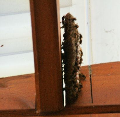 Eines der Wespennester auf der Terrasse beim Häusschen.
