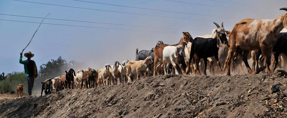 Die Ziegen werden nach Hause gebracht.