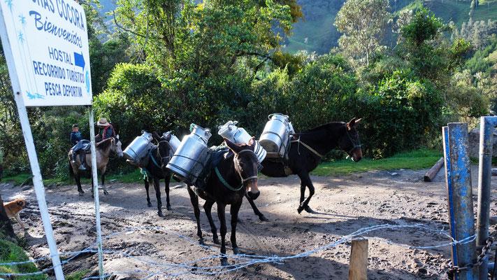 Frische Milch für die verschiedenen Hotels und Restaurants in Cocora