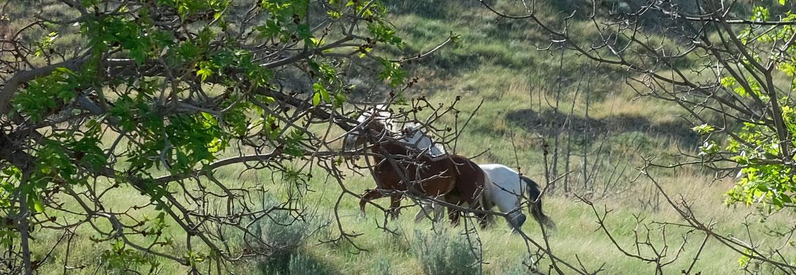 wilde, verliebte Mustangs