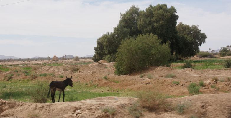 Wir sehen nur die obligaten Esel auf dem Weg nach Rissani