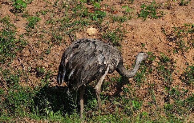 Natürlich begegnen uns auch wieder zahlreiche grosse Emus