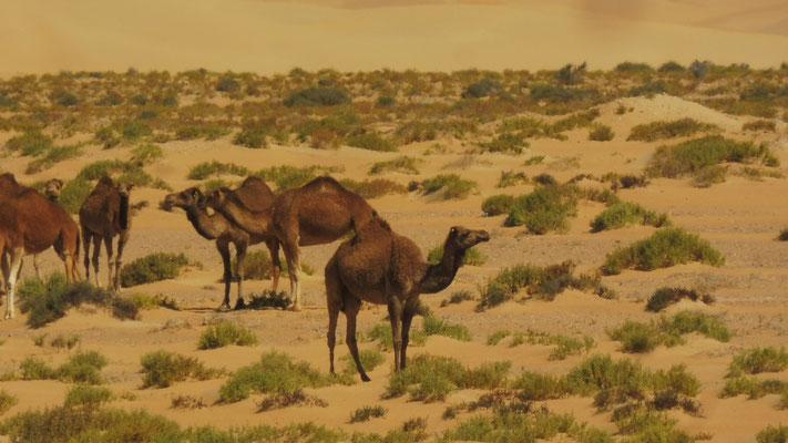 Wir queren etliche Kamelherden...