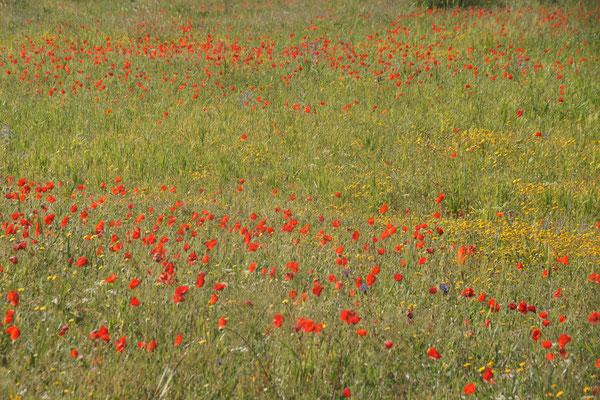 Mohnblumenfelder auf dem Weg zurück zur Strasse nach Taforalt