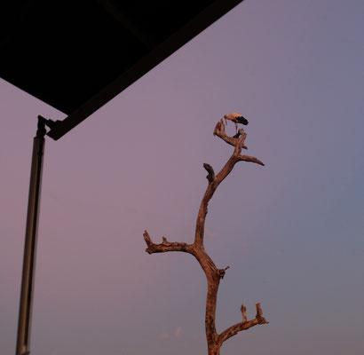 Am Abend setzt sich der Storch auf den verdörrten Baum neben uns uns und schäft