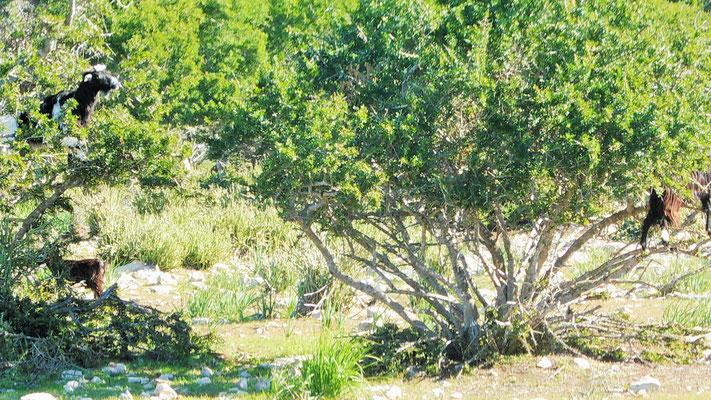 Ziegen in den Arganbäumen