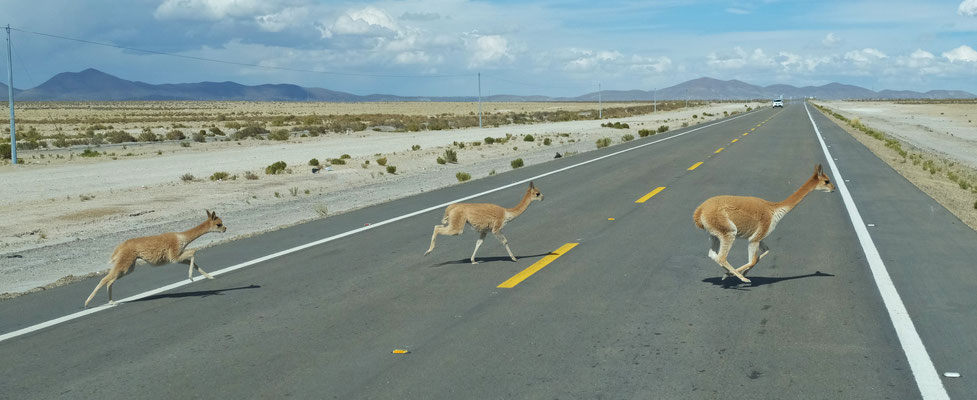 Auf dem Weg zurück nach Uyuni, rennen die Vicunas über die Strasse