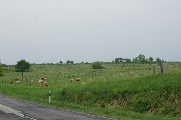 Selten sehen wir Kühe auf den Wiesen