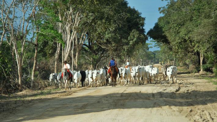 Die Gauchos holen die Rinder rein