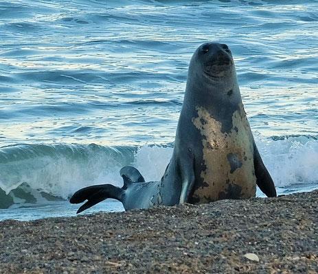 Dieses schöne Exemplar eines Seeelefant posiert vor der Kamera