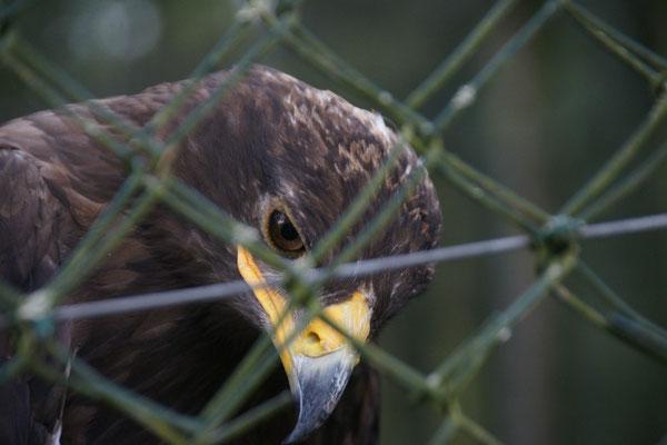 Von Angesicht zu Angesicht mit dem Adler