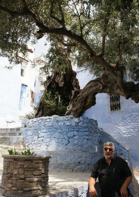 Ein riesiger Olivenbaum inmitten der blauen Gassen von Chefchouan.