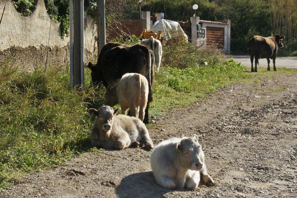 ....teilen uns den Platz mit den Kühen und Kälbern