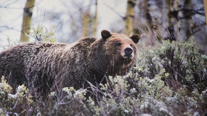 Wir sehen unseren ersten Bären, wenn auch nur auf einem Plakat im Kaffee.