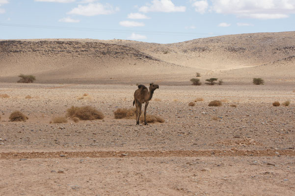 Das Kamel wartet brav, bis wir vorüber sind, setzt erst danach seinen Weg über die Strasse fort.